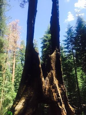 Giant Sequoia, Tuolumne Grove, Yosemite